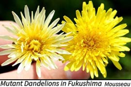 Dandelion Mutation in Fukushima