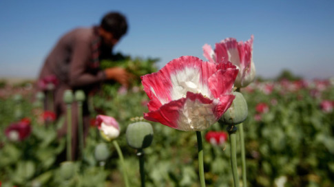 afghanistan-poppy-field-opium-heroin