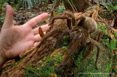 The South American Goliath birdeater (Theraphosa blondi) is the worlds largest spider