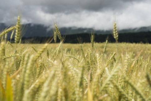 wheat-monsanto