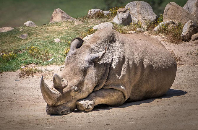 sixth-remaining-northern-white-rhino-dies