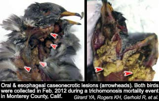 birds_lesions_CA