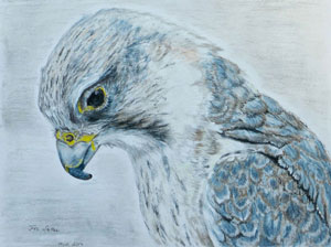 saker-falcon-drawing-small