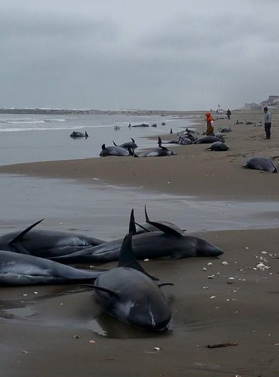 Mass Whale Beaching Re-Ignites Quake Fears Among Japanese-2