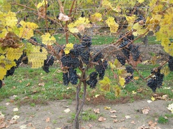 ontario-vines