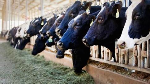 cows-milk