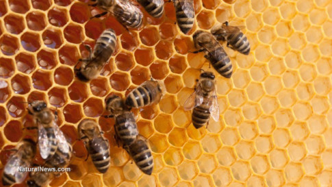 Bees-Hive-Honey-Comb