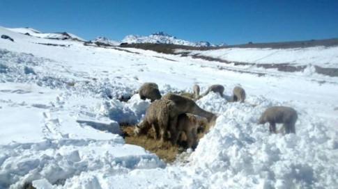 Peru – Heaviest snowfall in years kills 171,850 alpacas