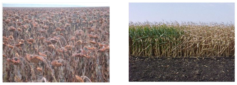 Roundup-Dessicated-Crops
