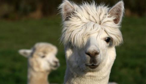 alpacas-riesgo-peru