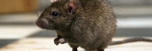 animals-RATS