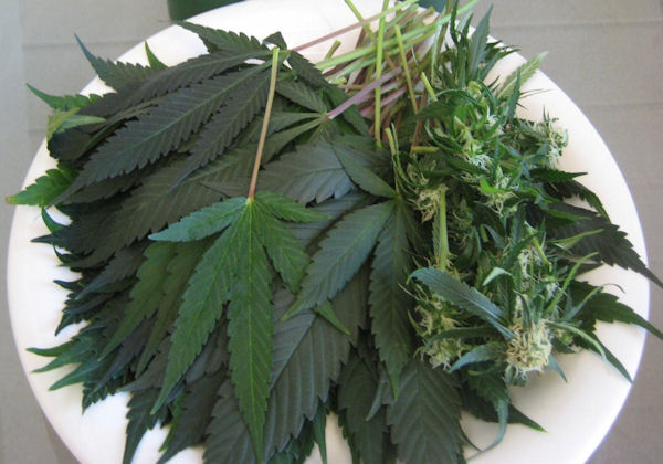 Cannabis-The-Most-Important-Vegetable-on-the-Planet