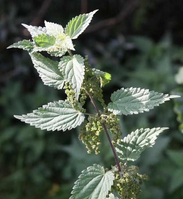 Urtica-dioca-seeds