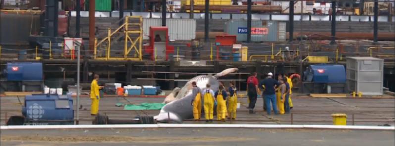 stranded_whales_alaska