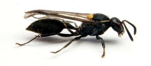 Brazilain social wasp Polybia paulista