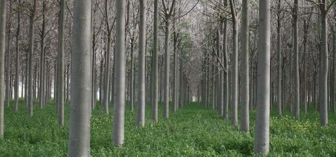 The Dangers of Genetically Engineered Trees