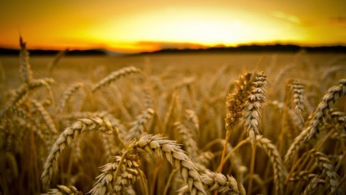 GM-Wheat