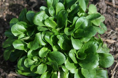 Corn-salad-Valerianella-locusta
