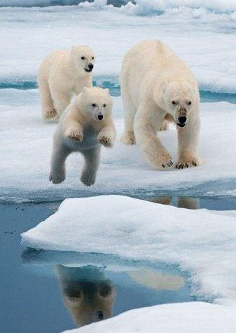 A polar bear family playing on the ice