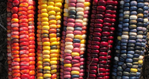 Heirloom-Corn-Varieties