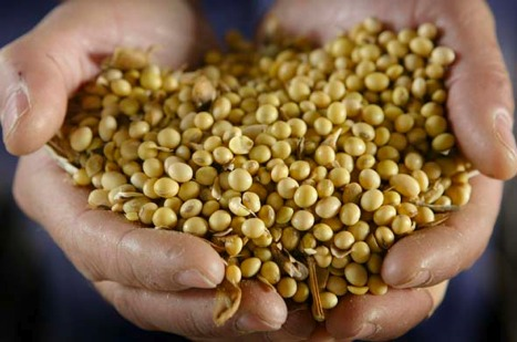 gmo-soybeans