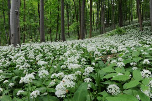 Ramson - Bear's Garlic - Baerlauch - Allium Ursinum
