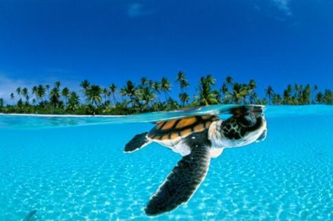 Baby Green Sea Turtle, French Polynesia