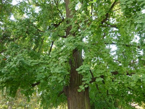 Gingko-Biloba-Tree