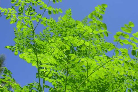 moringa-oleifera-3