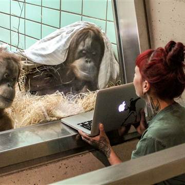 Stuttgart Zoo Gives Orangutans Option of Video Dating