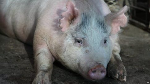 This pregnant sow is carrying human-pig chimera embryos