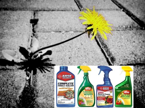 dandelion-pesticide-ban