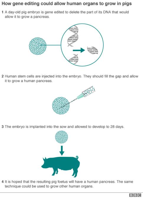 pig_gene_editing