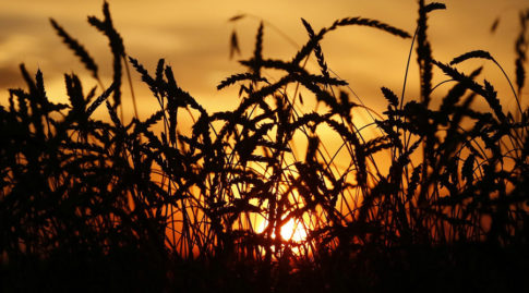 Ears of wheat are seen during sunset in the village of Solgon, southwest from Krasnoyarsk, Russia
