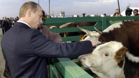 putin-gmo-feed-cows