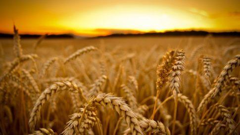 GMO-Wheat