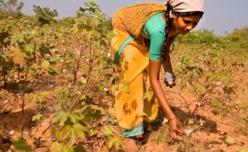 india-rebels-plants-indigenous-cotten-seed