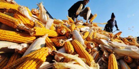 gm-corn