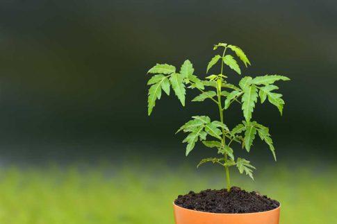 neem-plant