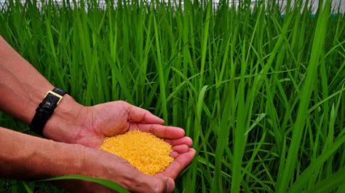 Golden Rice grain in screenhouse of Golden Rice plants.