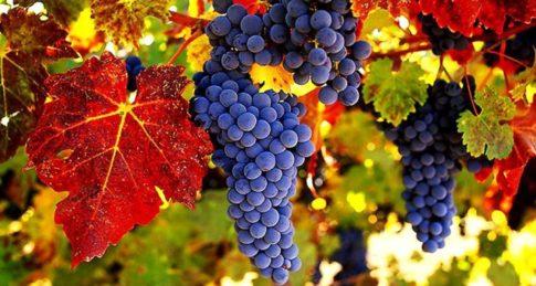 wine-grapes-autumn